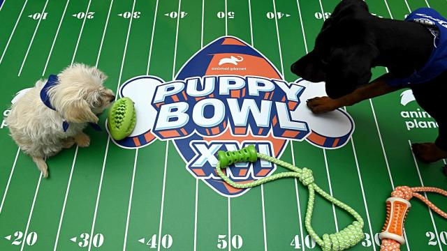 Puppies playing in Animal Planet's Puppy Bowl XVI
